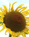 Насіння соняшнику Лайм Екстра Вніс 2020, фото 3