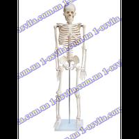 """Модель """"Скелет людини"""" 85 см"""