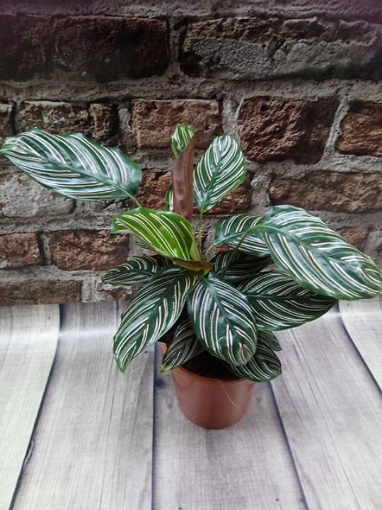 Горщечне рослина Калатея прикрашена Calathea ornata