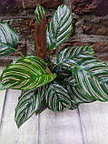 Горщечне рослина Калатея прикрашена Calathea ornata, фото 2