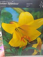 Цибулини лілії махрової трубчастої жовтої Golden Splendour 1 шт Junior Голландія
