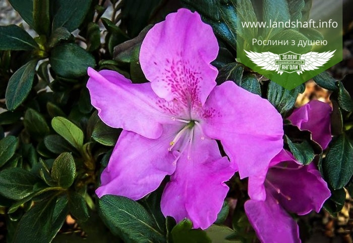Rhododendron Encore 'Lila', Рододендрон 'Ліла',C3 - горщик 3л