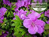 Rhododendron Encore 'Blue', Рододендрон 'Ліла',C3 - горщик 3л, фото 2