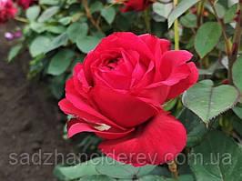 Саженцы роз Ля роз де Катрэ Вен, Роза 4 ветров (La Rose des 4 Vents)