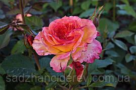 Саженцы роз Гартеншпас (Gartenspass)