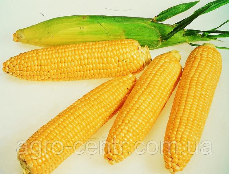 Семена кукурузы Почаївський 190 МВ, ФАО 190