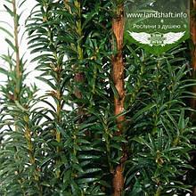Taxus baccata 'Litfass', Тис ягідний 'Літфас',C2 - горщик 2л,25-30см