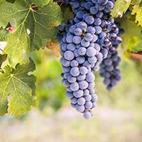 Виноград - скинали каталог