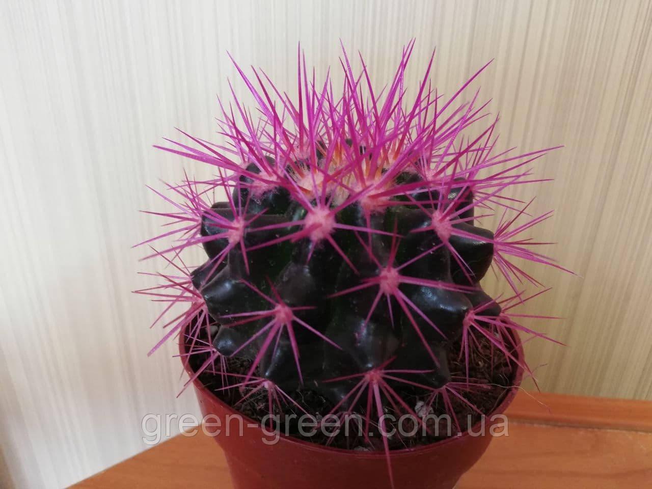 Кактус Reinbow Purple XL