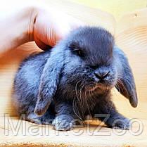 """Карликовый вислоухий кролик,порода """"Вислоухий баранчик"""",окрас """"Голубой"""",возраст 1,5мес.,девочка и мальчик, фото 2"""