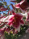 Лилия Robert Griesbach ( Роберт Грисбах ) – «лилейное дерево», фото 3