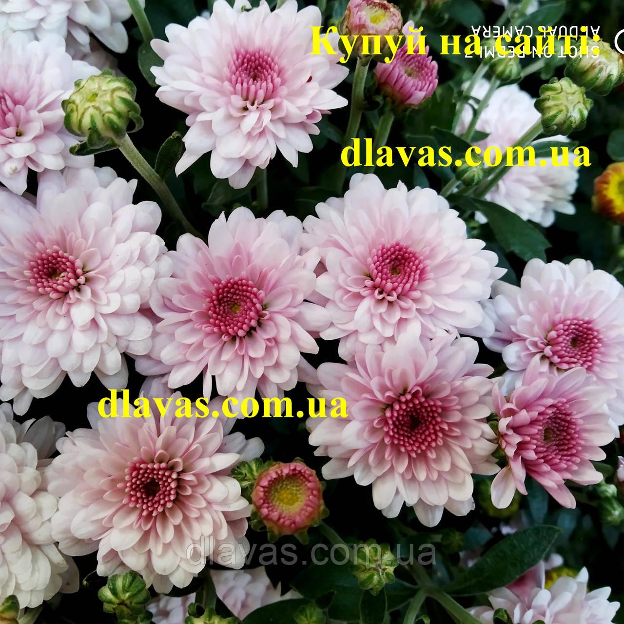 Хризантема АДЕЛЬ (з серпня)