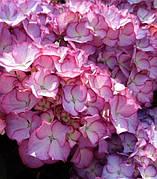 Гортензия крупнолистая Адула Пурпл (Adula Purple)(контейнер)