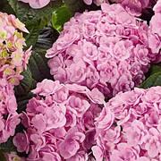 Гортензия крупнолистая Флорентина Пинк (Florentina Pink)(контейнер)