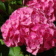 Гортензия крупнолистая Джип Пинк (Jip Pink)(контейнер)