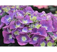Гортензия крупнолистая Фрисби Пурпл (Frisbee Purple)(контейнер)