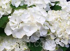 Гортензия крупнолистая Саксон Брайт Вайт (Saxon® Bright White)(контейнер)