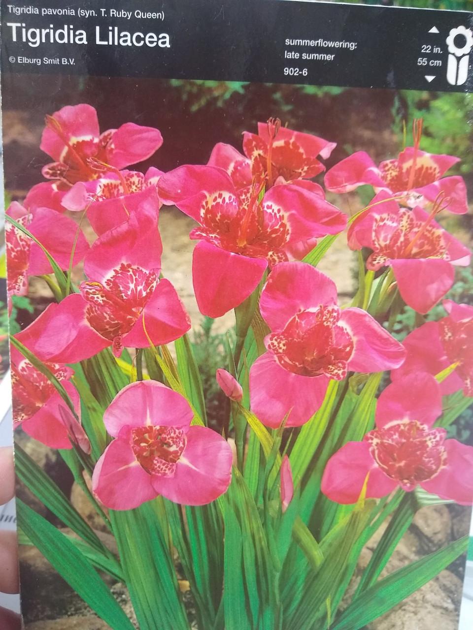 Клубнелуковица Тигридии Лилацея Lilacea розовая многолетняя 1 шт Junior Голландия