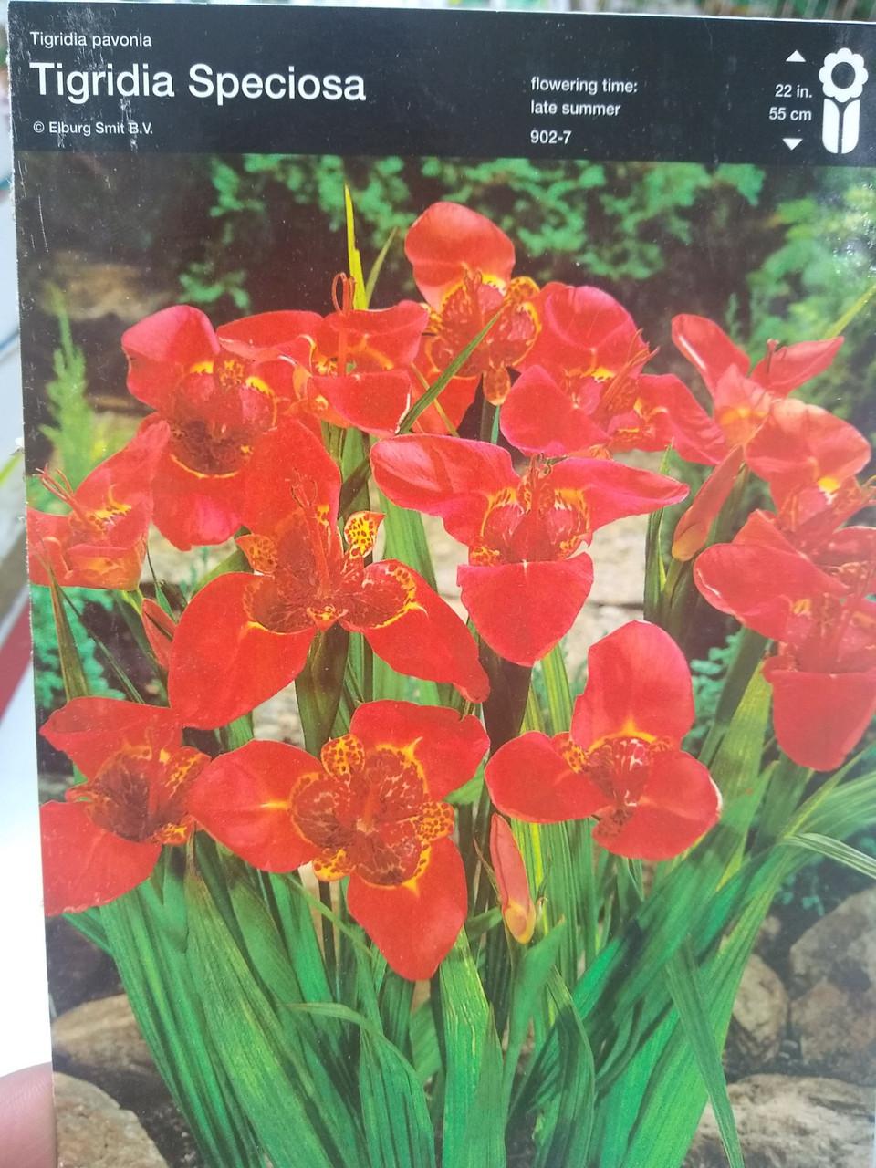 Бульбоцибулина Тигридии Специоза Speciosa червона багаторічна 1 шт Junior Голландія