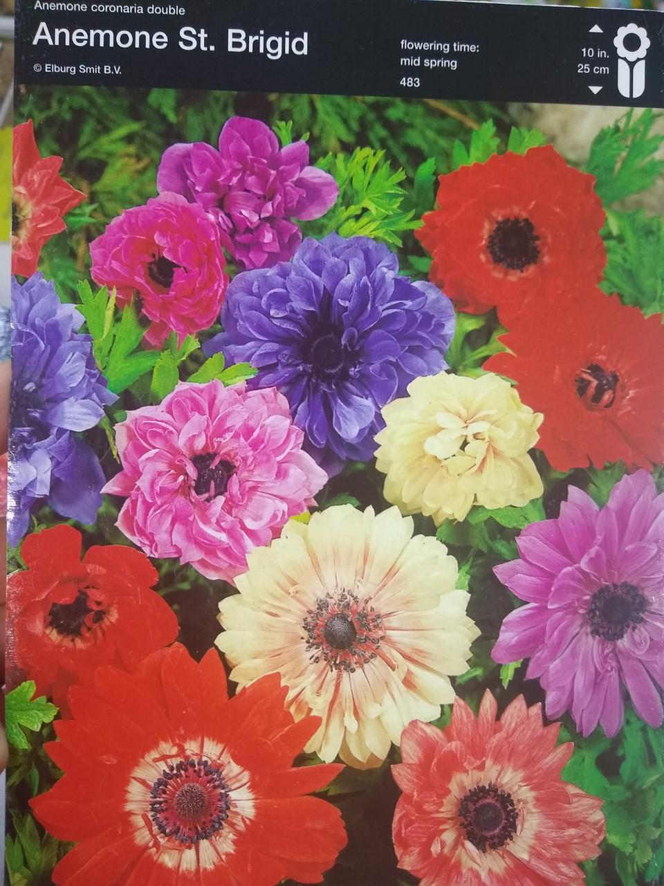 Бульби Анемони Бріджит суміш квітів Anemone St.Brigid 1шт Junior Голландія