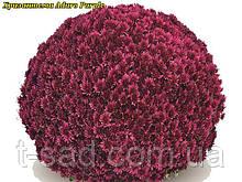 Хризантема Aduro Purple(Адуро Пурпурный) Мультифлора. рассада