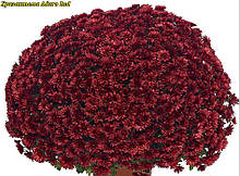 Хризантема Aduro Red( Адуро красный) Мультифлора. рассада