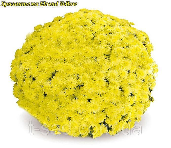 Хризантема Elrond Yellow (Элронд Желтый) Мультифлора. р9