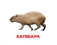 "Карточки большие украинские с фактами ""Екзотичні тварини"" 20 карт., методика Глена Домана 096501"
