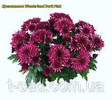 Хризантема Wonderland Dark Pink (Страна чудес) рассада