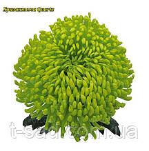 Хризантема Quartz (Кварцевый) Крупноцветковая. рассада