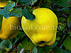 Айва яблукоподібна Кримська рання, самоплідний сорт