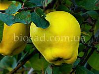 Айва яблукоподібна Кримська рання, самоплідний сорт, фото 1