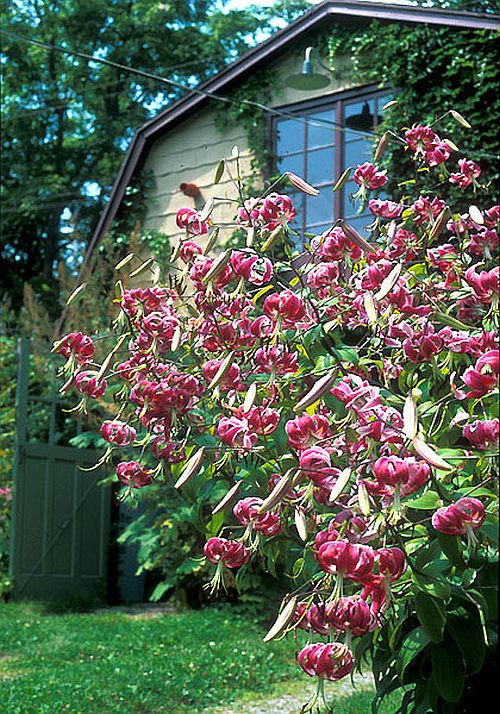 Лилия Black Beauty - лилейное дерево