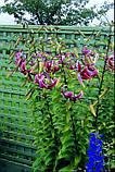 Лилия Black Beauty - лилейное дерево, фото 3