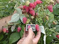 Саженцы малины Таруса (дерево-малина)