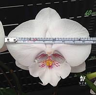 """Орхідея, горщик 2.5"""" без квітів. P2392"""