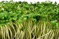КРЕСС-САЛАТ (Lepidium sativum), фото 1