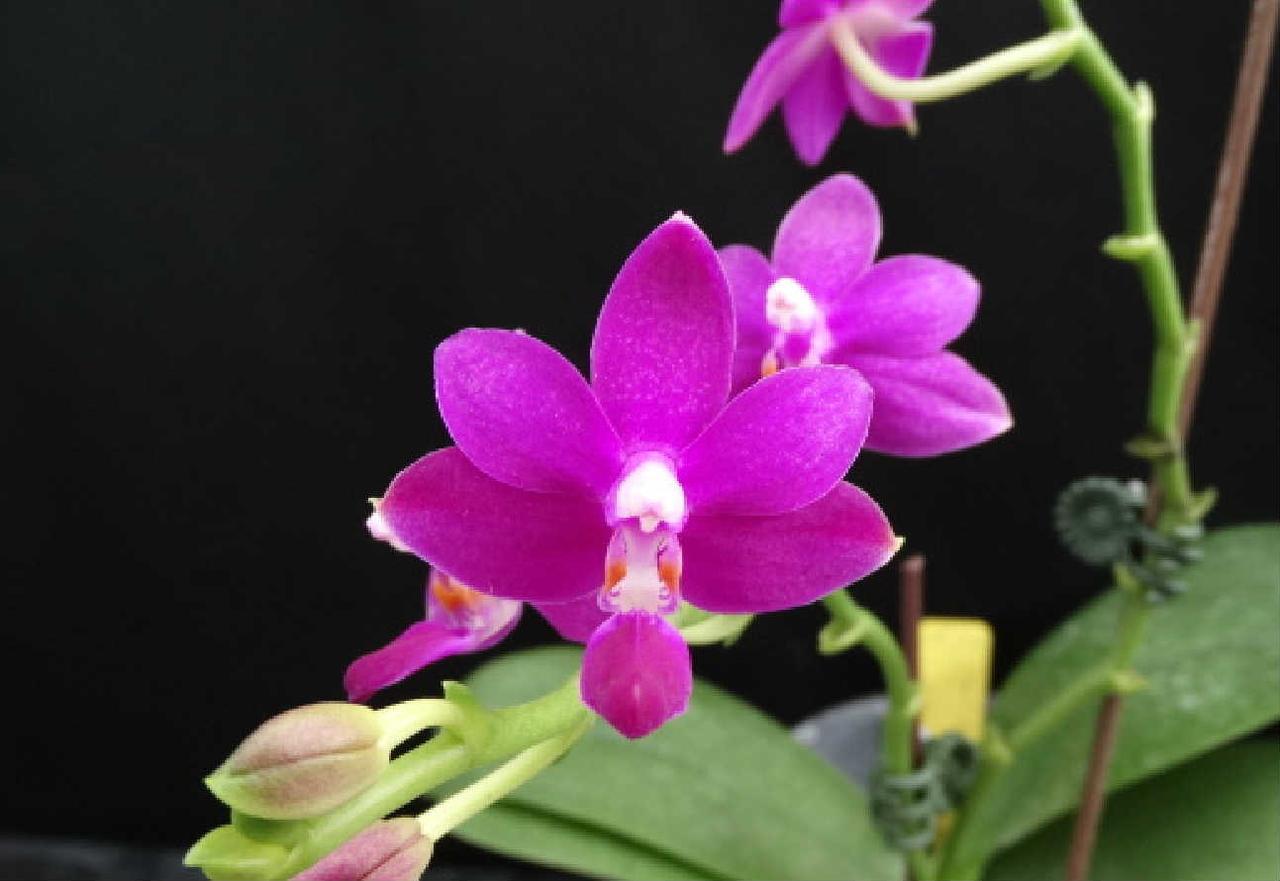 """Орхидеи гибрид Purple Martin x Violacea indigo, горшок 2.5"""" без цветов"""