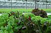 Салат комнатный микс семена, фото 5