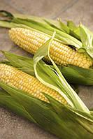 Гибрид кукурузы Конкорд компании Euralis