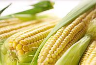 Гибрид кукурузы Кубус компании Euralis