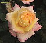 Роза Canary (Канарейка) відвантаження вересень, фото 3