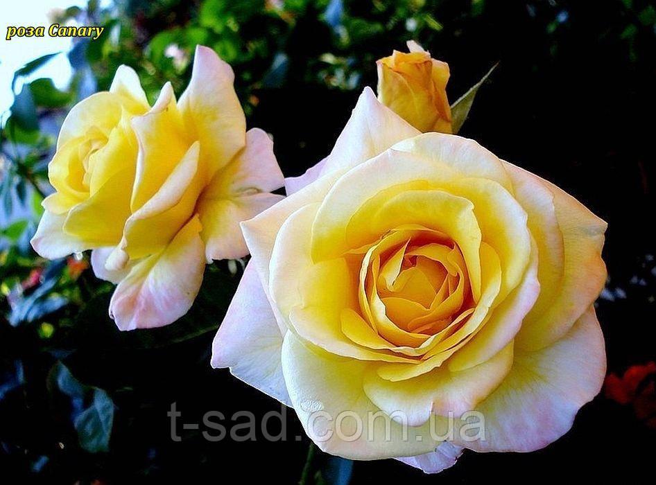 Роза Canary (Канарейка) відвантаження вересень