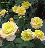 Роза Canary (Канарейка) відвантаження вересень, фото 2