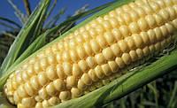 Гибрид кукурузы Пароли компании Euralis