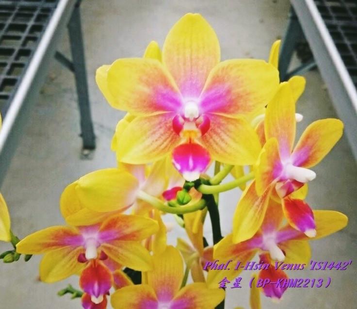 """Орхидея, горшок 2.5"""" без цветов. I-Hsin Venus"""