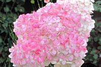 Гортензия метельчатая «Пинк Леди» Hydrangea paniculata «Pink Lady» ЗКС 3 литра