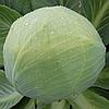 ЗОЛТАН F1 (NiZ 17-1265) - семена капусты белокочанной калиброванные 2 500 семян, Hazera