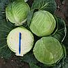 КАСТЕЛЛО F1 - семена капусты белокочанной калиброванные 2 500 семян, Hazera