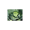 ЛИОН F1 - капуста белокочанная, Hazera